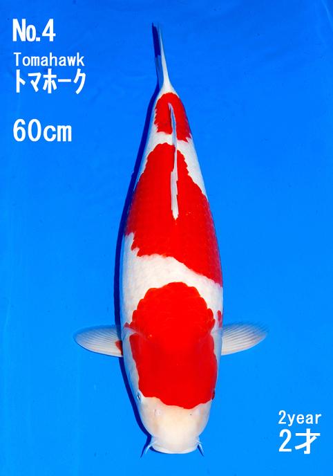 Koi details tomahawk kohaku for Kohaku koi fish