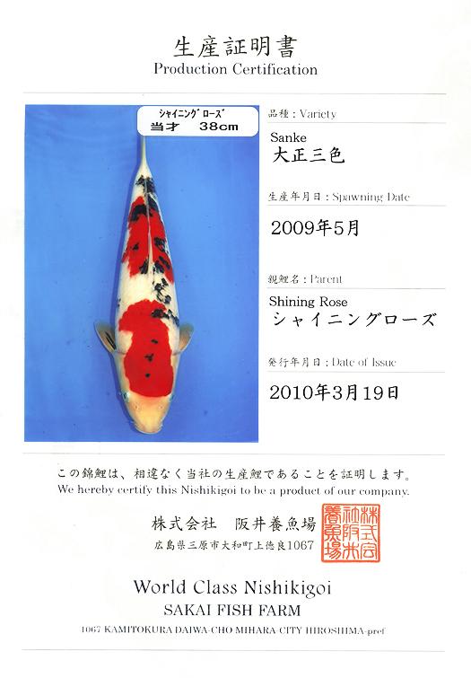 Why this koi categorized as Showa ? - Arofanatics Fish Talk