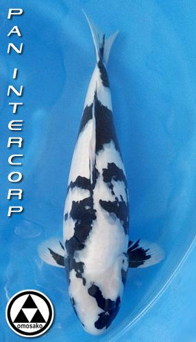 Koi details shiro utsuri for Champion koi fish for sale